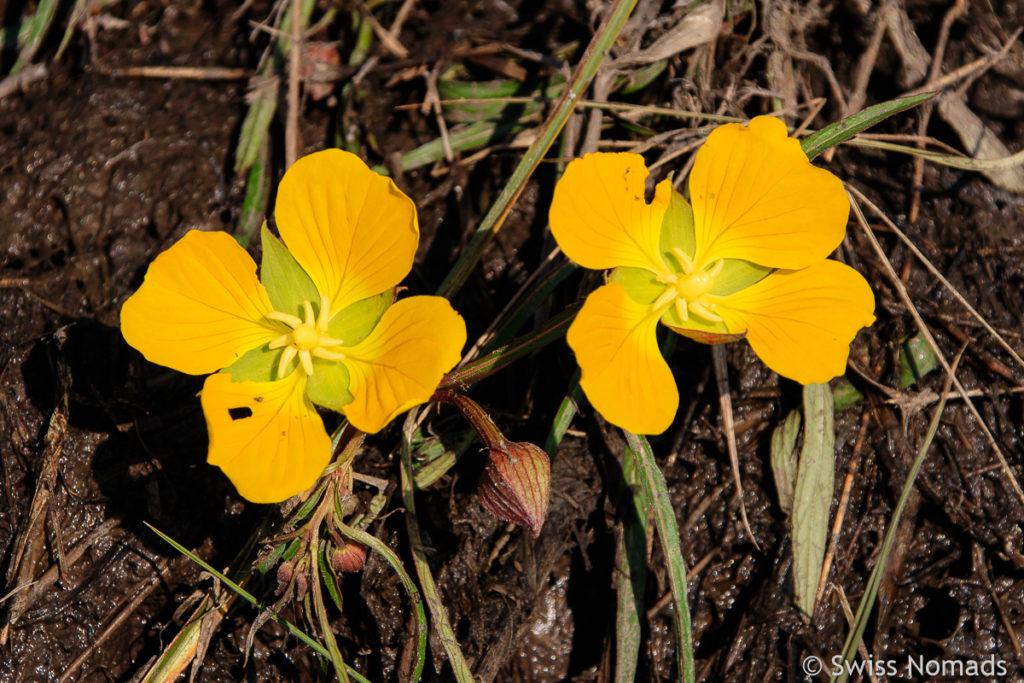 Blumen im feuchten Chaco