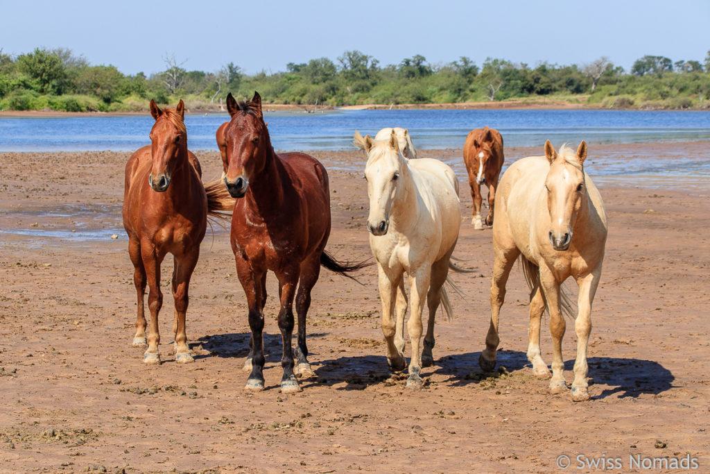 Pferde bei der Laguna Capitan in Parguay