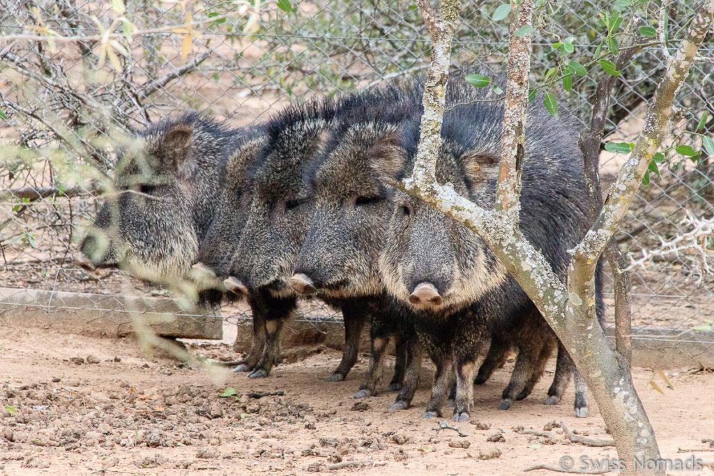 Nabelschweine im Gran Chaco von Paraguay