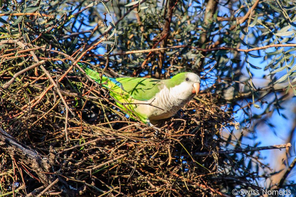Papagai im Chaco von Paraguay