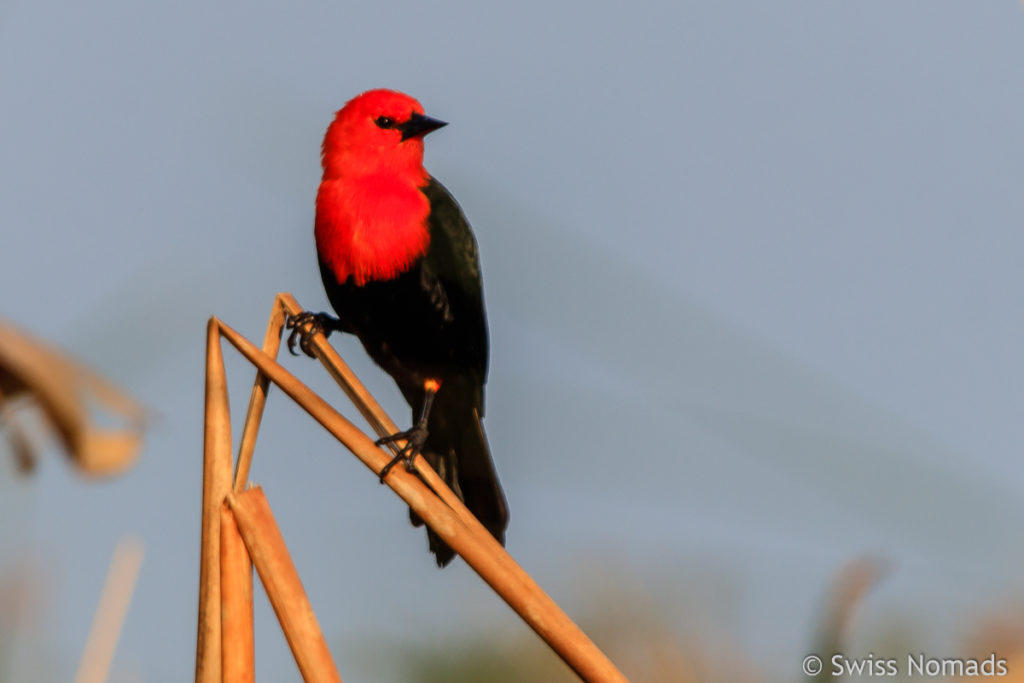 Scarlet Headed Black Bird bei der Laguna Blanca