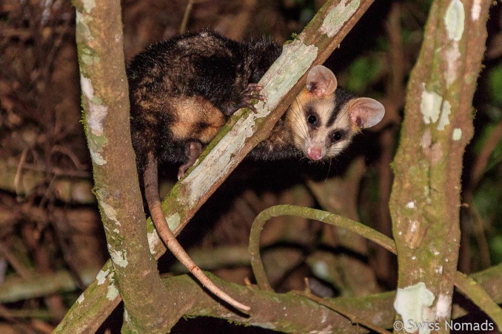 Nachtaktives Tier Paraguay