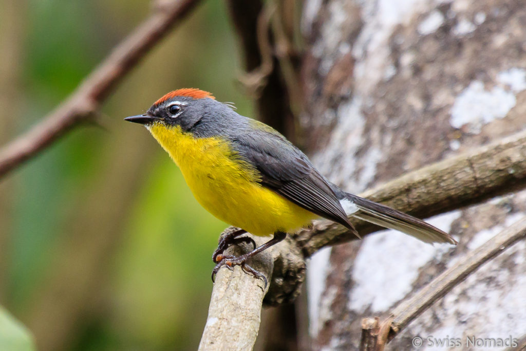Gelber Vogel im Calilegua Nationalparl