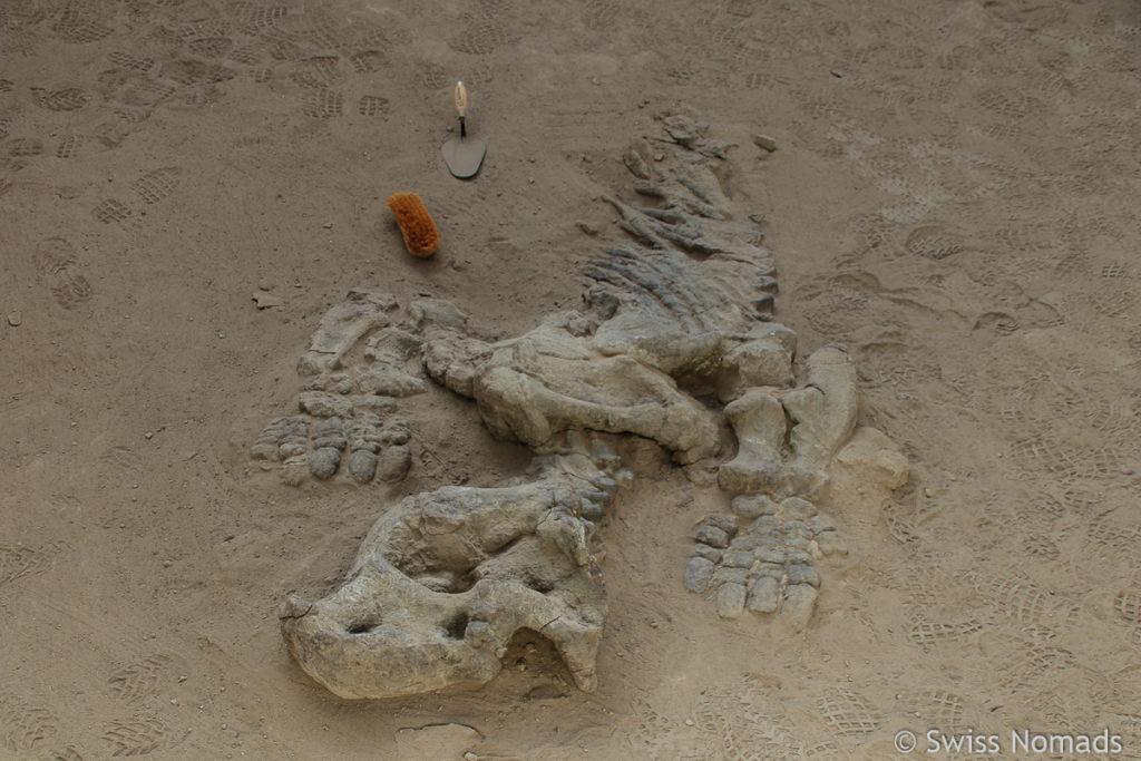 Dinosaurier Fossil im Parque Provincial Ischigualasto