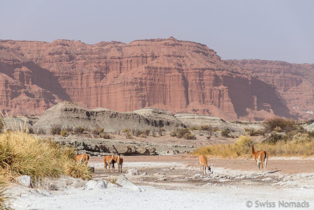 Guanackos vor der Roten Felswand