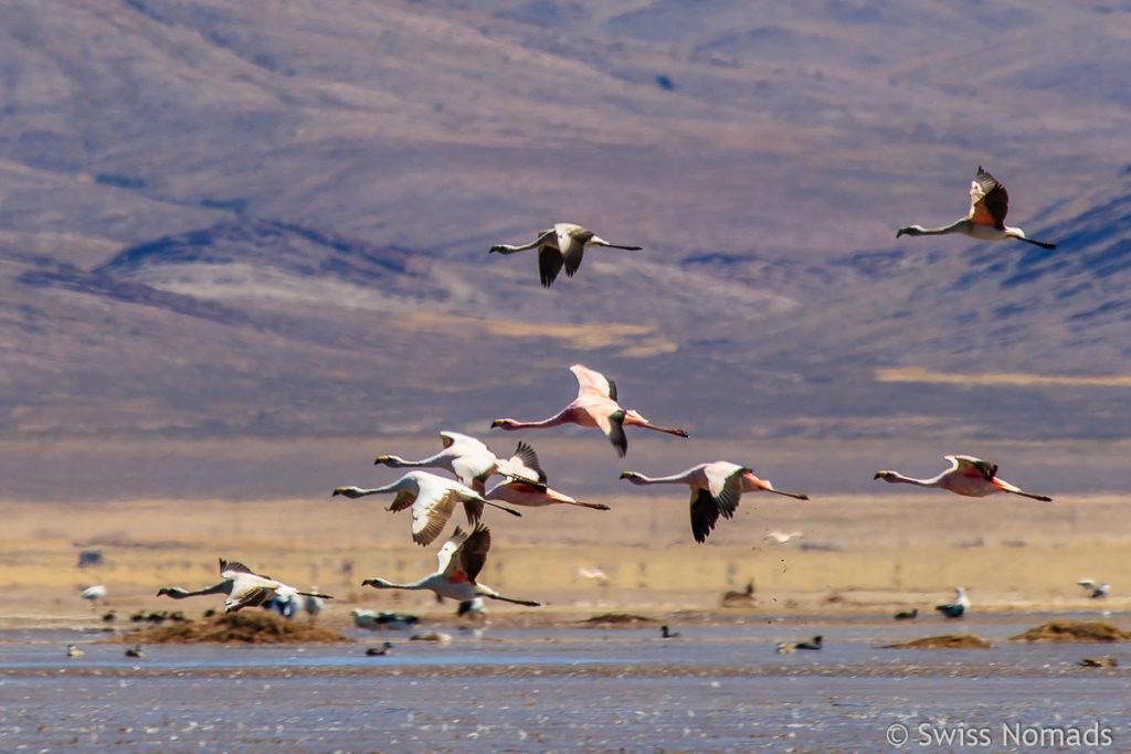Fliegende Flamingos in der Laguna Pozuelos