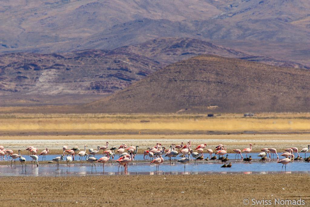 Flamingos Laguna Pozuelos Argentinien
