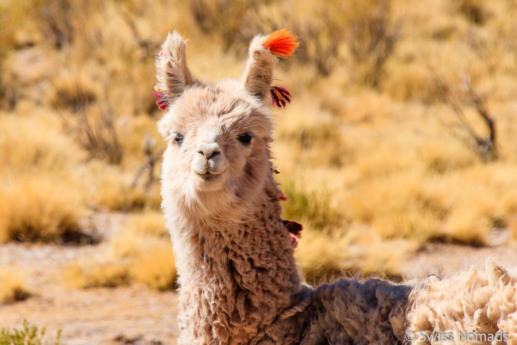 Lama in Argentinien