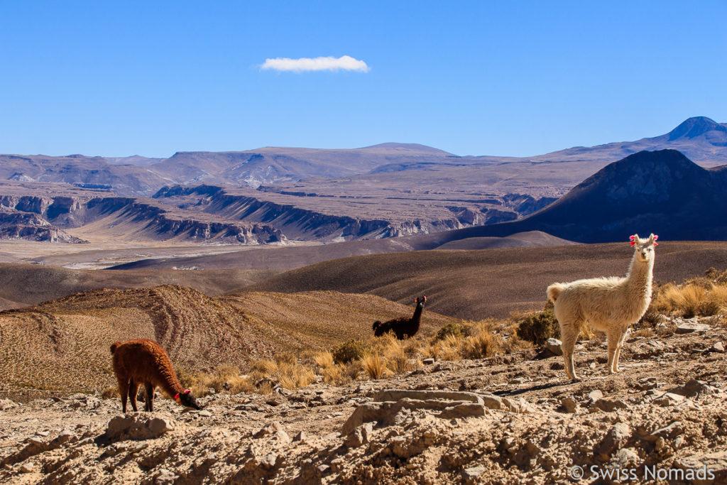 Lamas in Argentinien
