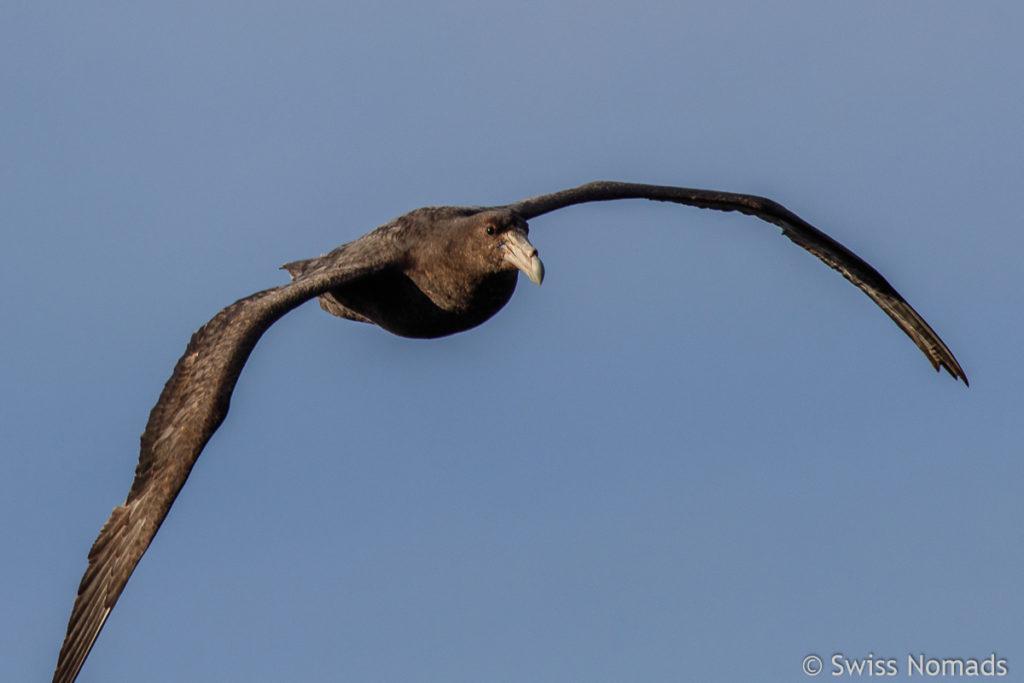 Albatross am Punta Norte auf Valdes