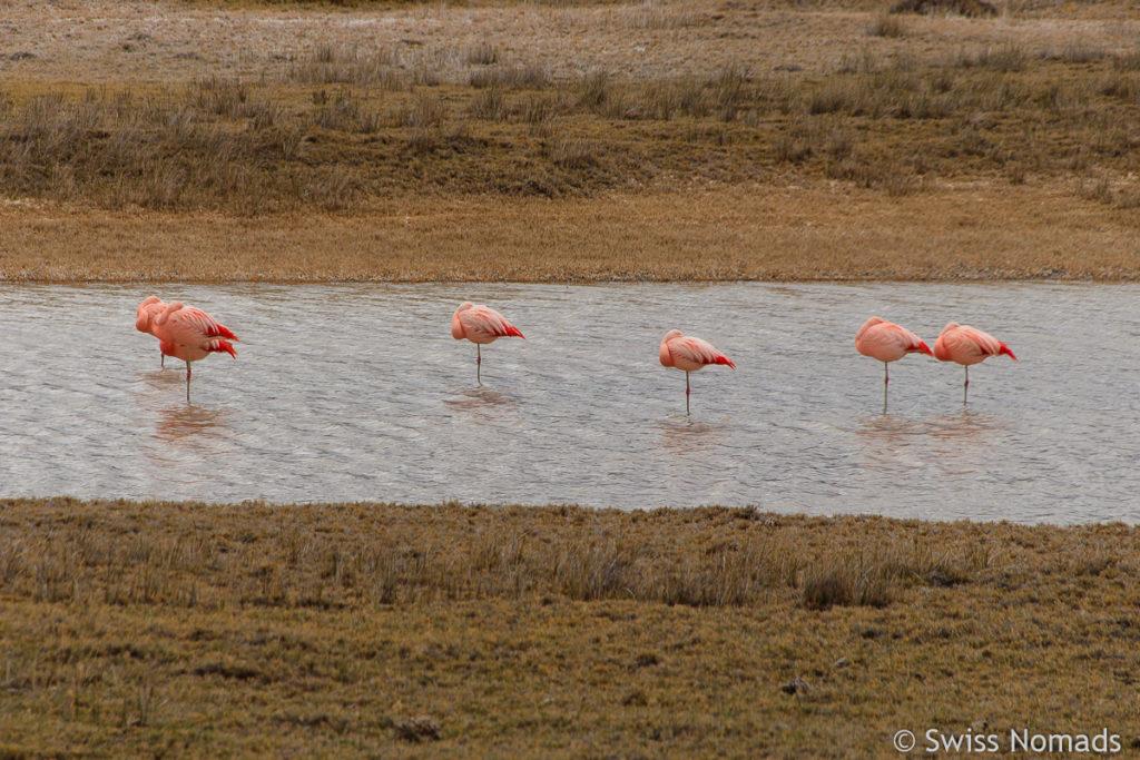 Flamingos in Patagonien