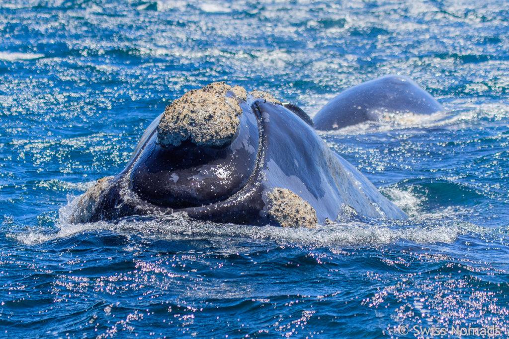 Glattwal auf der Halbinsel Valdes