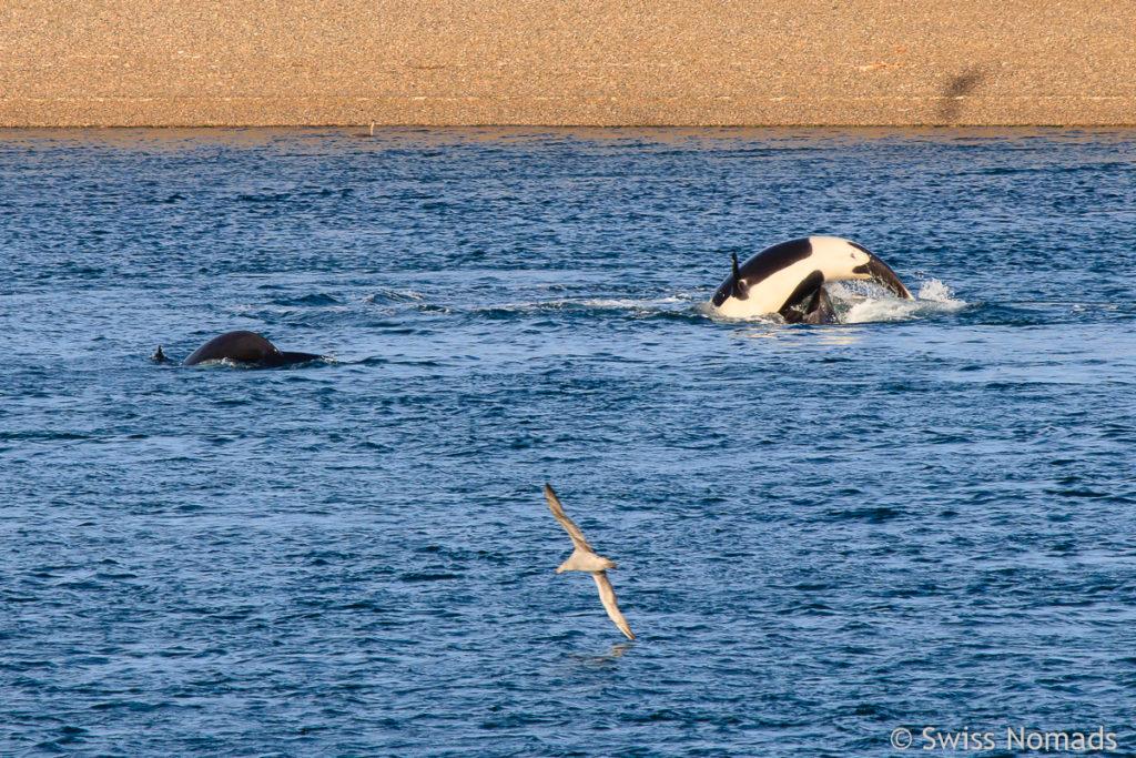 Orcas am Caleta Valdes im Atlantik
