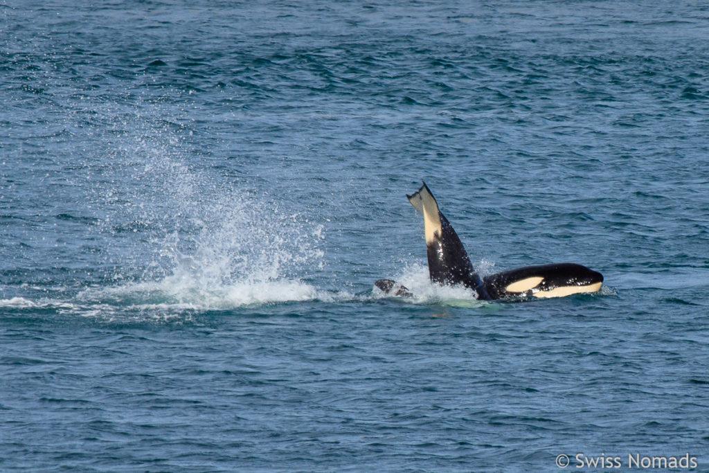 Orcas auf der Halbinsel Valdes