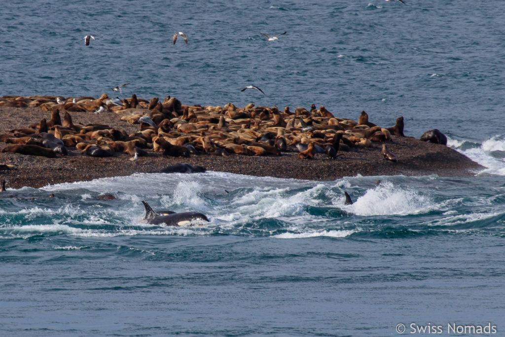 Orcas am Jagen