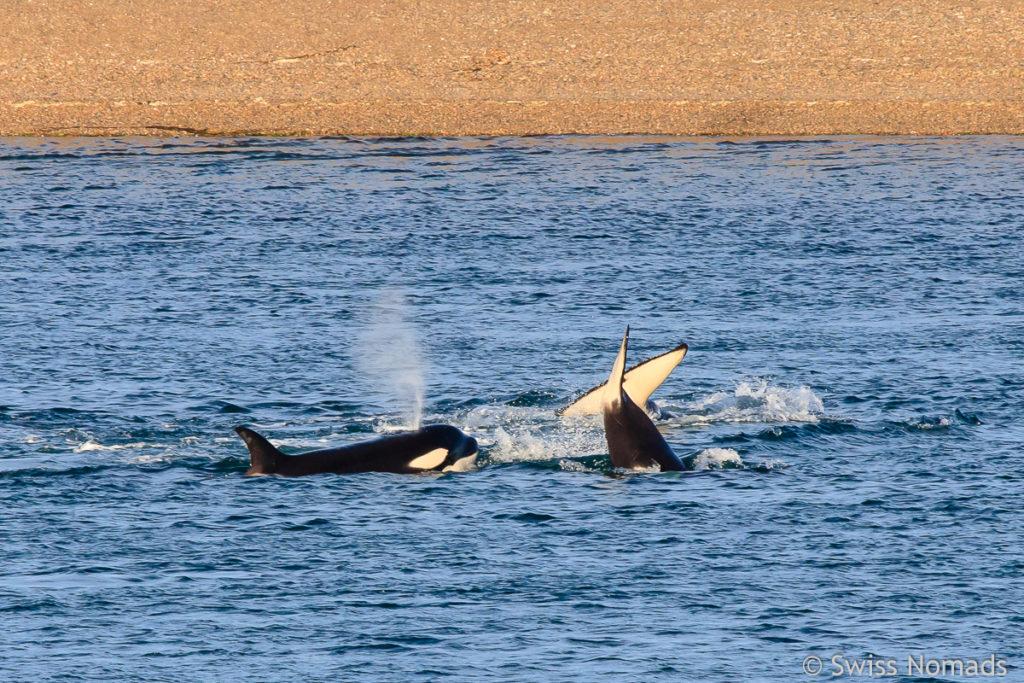 Orcas beim Mirador Caleta Valdes