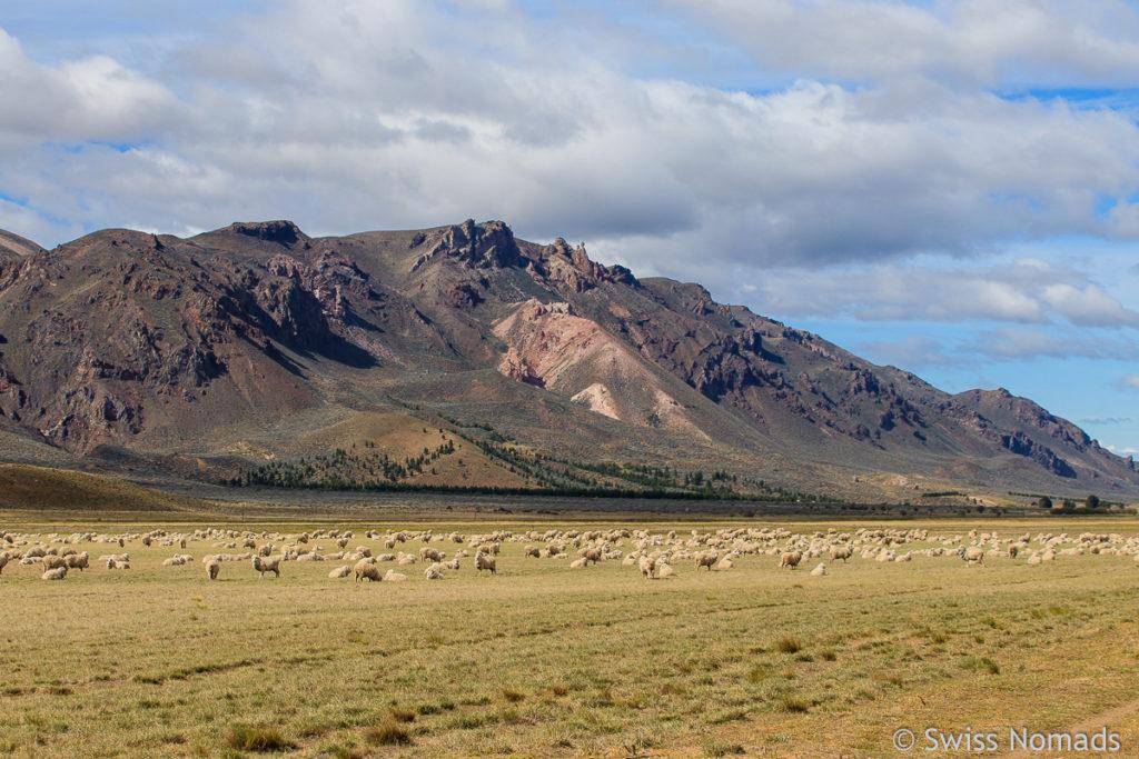Schafe in Patagonien