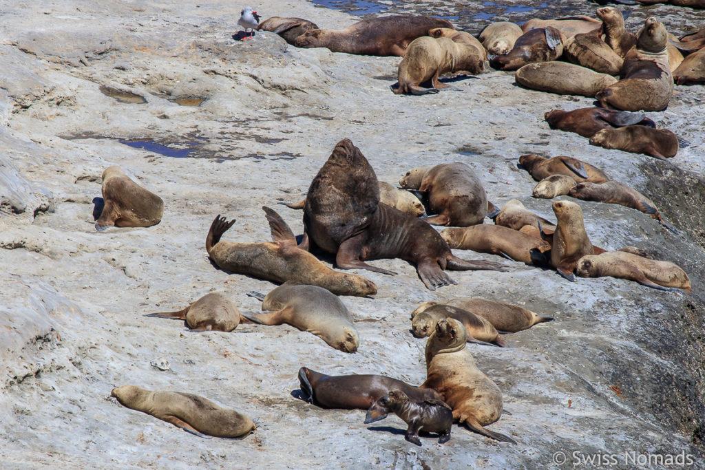 Seelöwen Kolonie am Punta Piramides