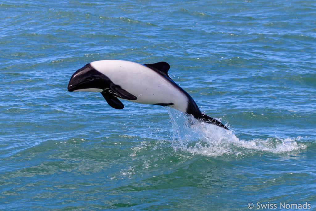 Commerson Delfin Puerto Deseado