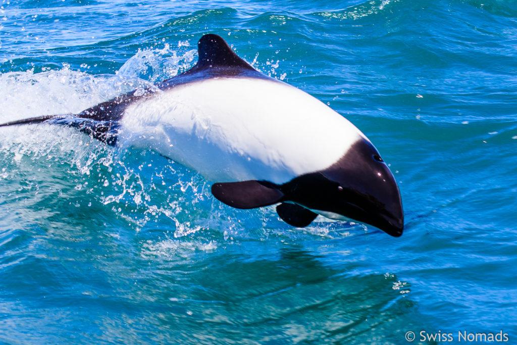 Commerson Delfin Spung