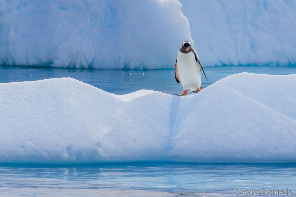 Eselspinguin in der Antarktis