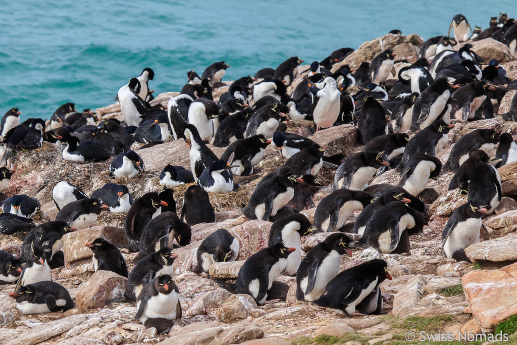 Felsenpinguinkolonie Falkland Inseln
