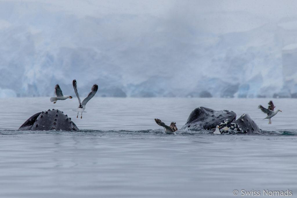 Antarktis Buckelwal am fressen