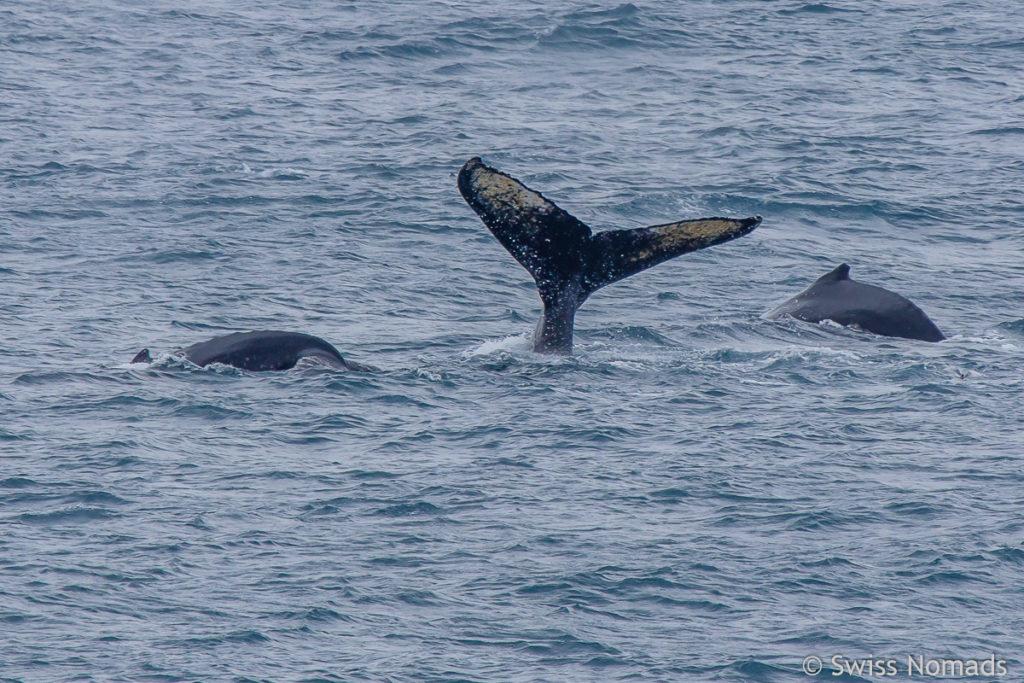 Buckelwal im Südlichen Ozean