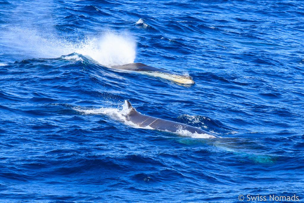 Finnwalsichtung im Atlantik