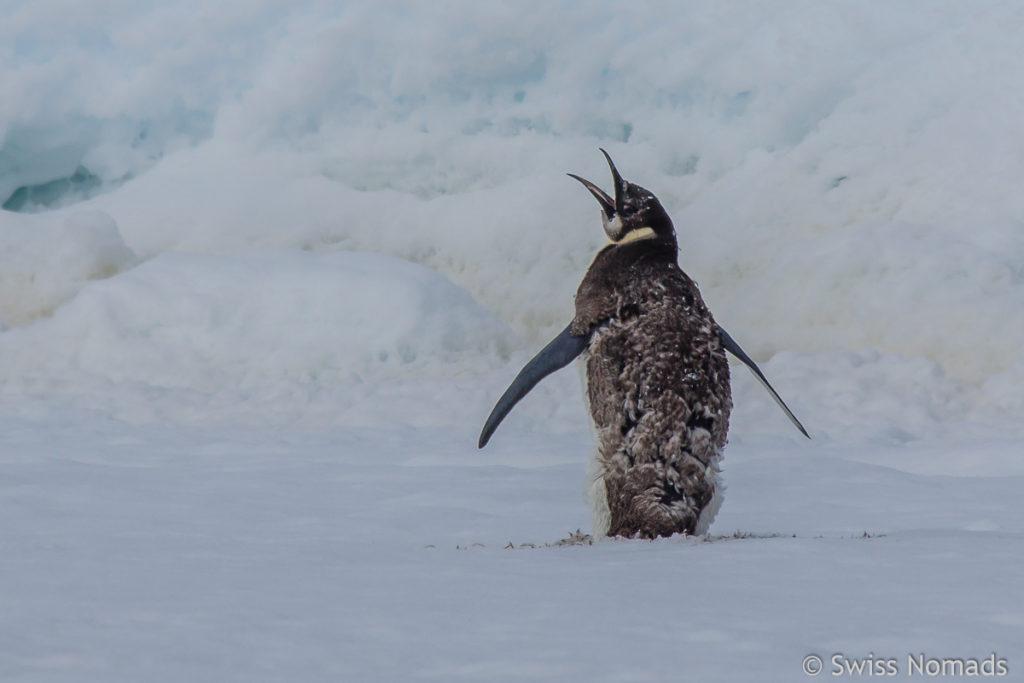 Kaiserpinguin in der Antarktis
