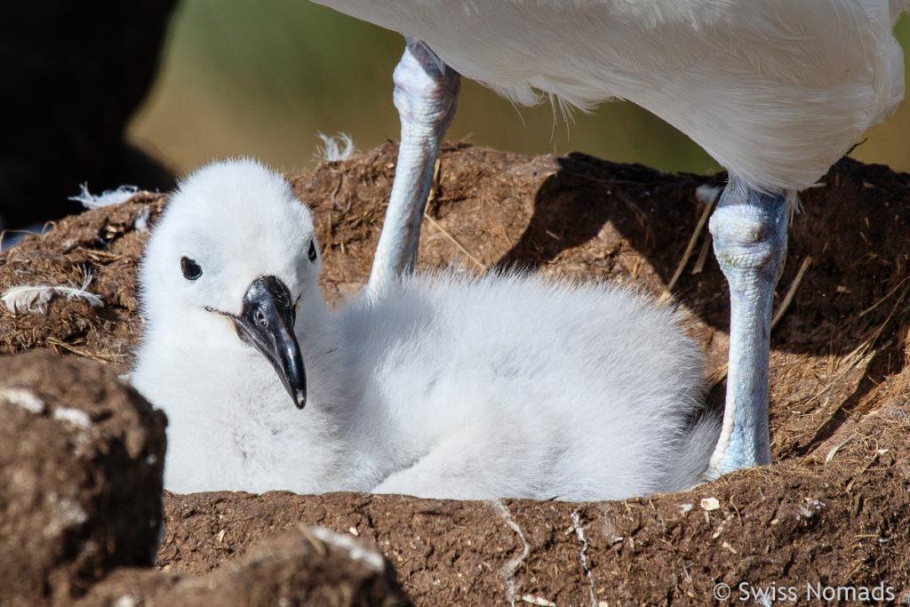 Schwarzbrauen Albatros Küken