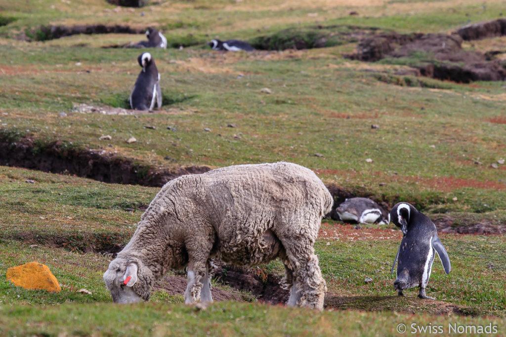 Schaf und Pinguin