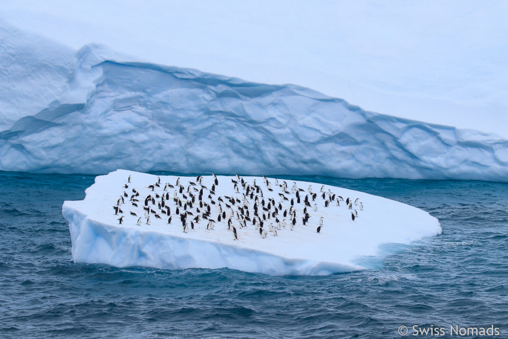 Pinguine auf Eisscholle in der Antarktis