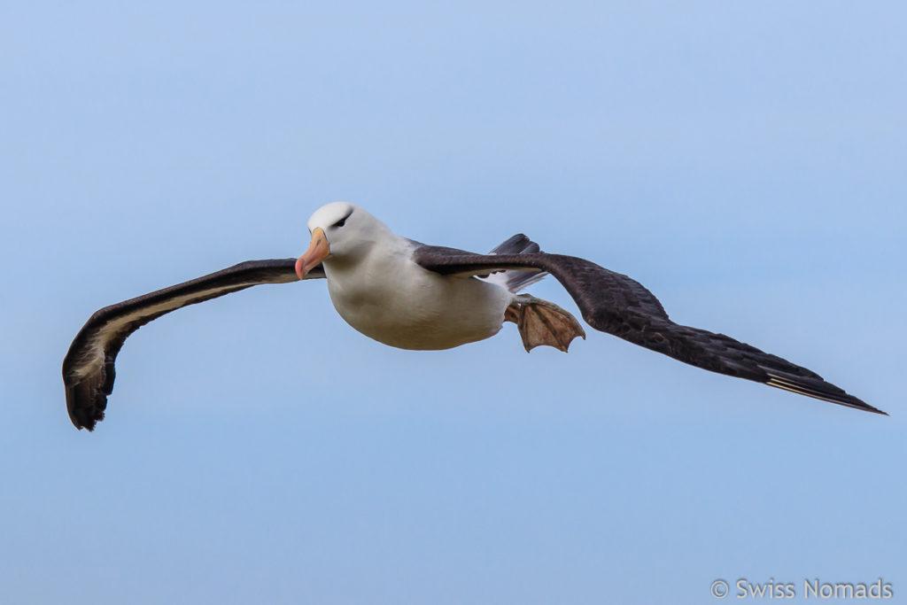 Schwarzbrauen Albatros