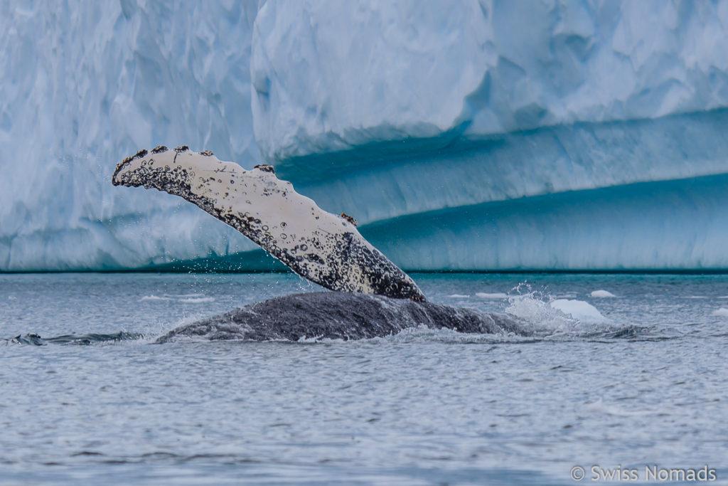 Wal bei Danco Island in der Antarktis